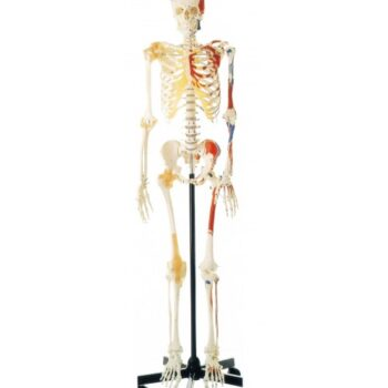 DELUX LIFE-SIZE HUMAN SKELETON COLORED 170CMS TALL WITH ENTHESIS OF MUSCLES