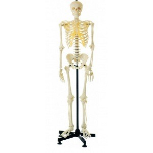 HUMAN SKELETON LIFE-SIZE (MALE) 180CMS TALL